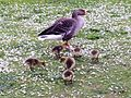 Anser anser with goslings - Orpington - 11.jpg