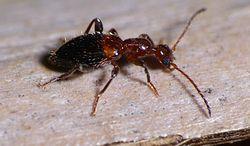 Ant beetle.jpg