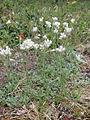 Antennaria dioica Simo, Finland 22.06.2013.jpg