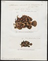 Antennarius marmoratus - 1700-1880 - Print - Iconographia Zoologica - Special Collections University of Amsterdam - UBA01 IZ13600203.tif