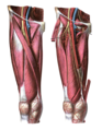 Anterior view of the thigh.png