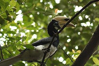 Oriental pied hornbill - Image: Anthracoceros albirostris from below