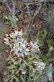 Anthyllis vulneraria, Fabaceae.jpg
