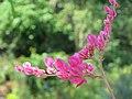 Antigonon leptopus - Coral Vine at Thattekkadu (7).jpg