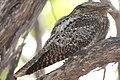 Antrostomus carolinensis, Dry Tortugas NP, Florida 1.jpg