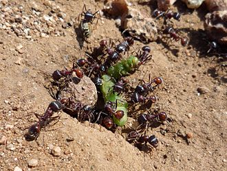 Pogonomyrmex - Image: Ants Eating A Caterpillar