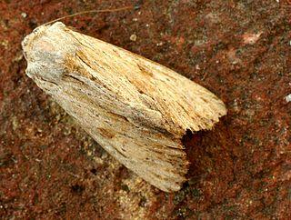 <i>Apamea</i> (moth) genus of insects