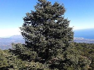 Apies pinsapo (Spanish fir).jpg