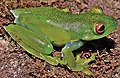 Aplastodiscus ibirapitanga IRDias 2014 (cropped).jpg