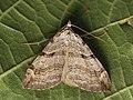 Aplocera plagiata - Treble-bar (40230039714).jpg