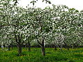 Apple orchard Moscow State University 04.JPG
