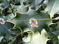 Aquifoliales - Ilex aquifolium - 7.jpg