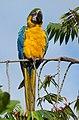 Ara ararauna (Guacamaya azul y amarilla) (14621276406).jpg
