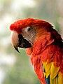 Ara macao -Upper body -Zoo-8a.jpg
