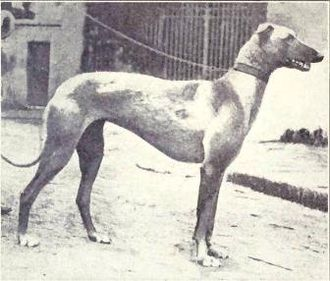 Sloughi - Arabian Greyhound circa 1915