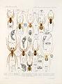 Arachnida Araneidea Vol 1 Table 39.jpg
