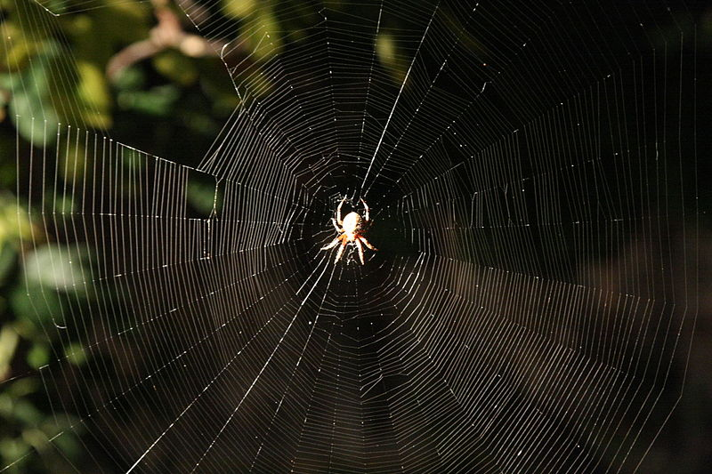 Araneus diadematus web 1.jpg