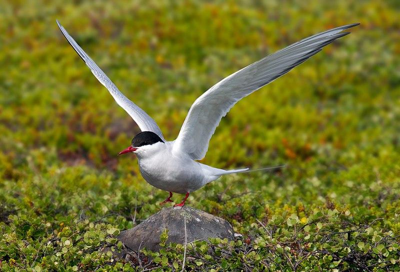 File:Arctic Tern.jpg