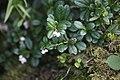 Arctostaphylos uva-ursi - img 25649.jpg