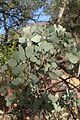 Arctostaphylos viscida kz1.jpg