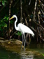 Ardea alba, Livingston, Izabal Department, Guatemala.jpg