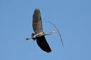 A Great Blue Heron flying with nesting materia...
