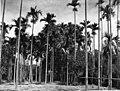 Areca (Betel-nut) Palms in Bloom.jpg
