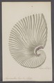 Argonauta argo - - Print - Iconographia Zoologica - Special Collections University of Amsterdam - UBAINV0274 090 01 0002.tif