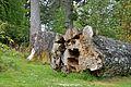 Armadale Castle - fallen tree.jpg