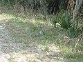 Armadillo inside Florida's Myakka State Park 1.jpg
