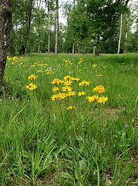 Arnica montana 180605.jpg