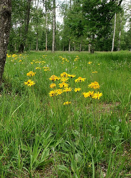 use arnica montana for muscle soreness