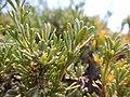 Artemisia nova (18702985250).jpg