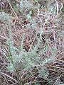 Artemisia repens sl2.jpg