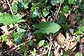 Arum maculatum leaves 1.jpg
