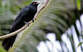 Asian Koel (Eudynamys scolopaceus) - Male.JPG