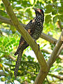 Asian Koel (Female) in India.JPG