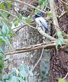 Asian Paradise Flycatcher3.jpg