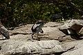 Asian openbill stork (Anastomus oscitans) from Ranganathittu Bird Sanctuary JEG4034.JPG