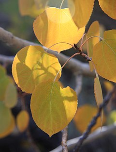 Aspen leaves gold backlight close