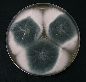 Czapek medium - Aspergillus fumigatus on Czapek agar