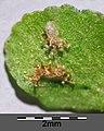Asplenium trichomanes subsp. quadrivalens sl22.jpg