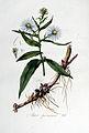 Aster puniceus — Flora Batava — Volume v5.jpg