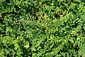 Astragalus-glycyphyllus-habitus.jpg