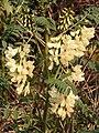 Astragalus lusitanicus 056b.JPG