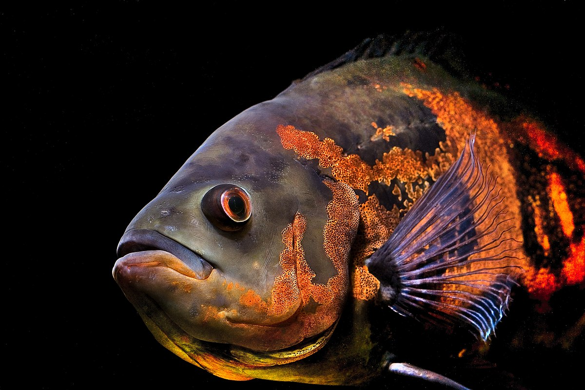 oscar fish wikipedia