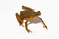 Atelopus limosus - juvenile coloration fading to brown.jpg