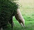 Athletic Sheep - geograph.org.uk - 506248.jpg