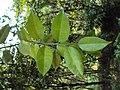 Atlantia monophylla 05.JPG