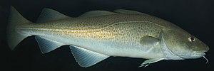 Sacred Cod - Image: Atlantic cod 1